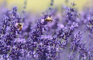 Pflanzen gegen Wespen und Mücken: Das hilft wirklich